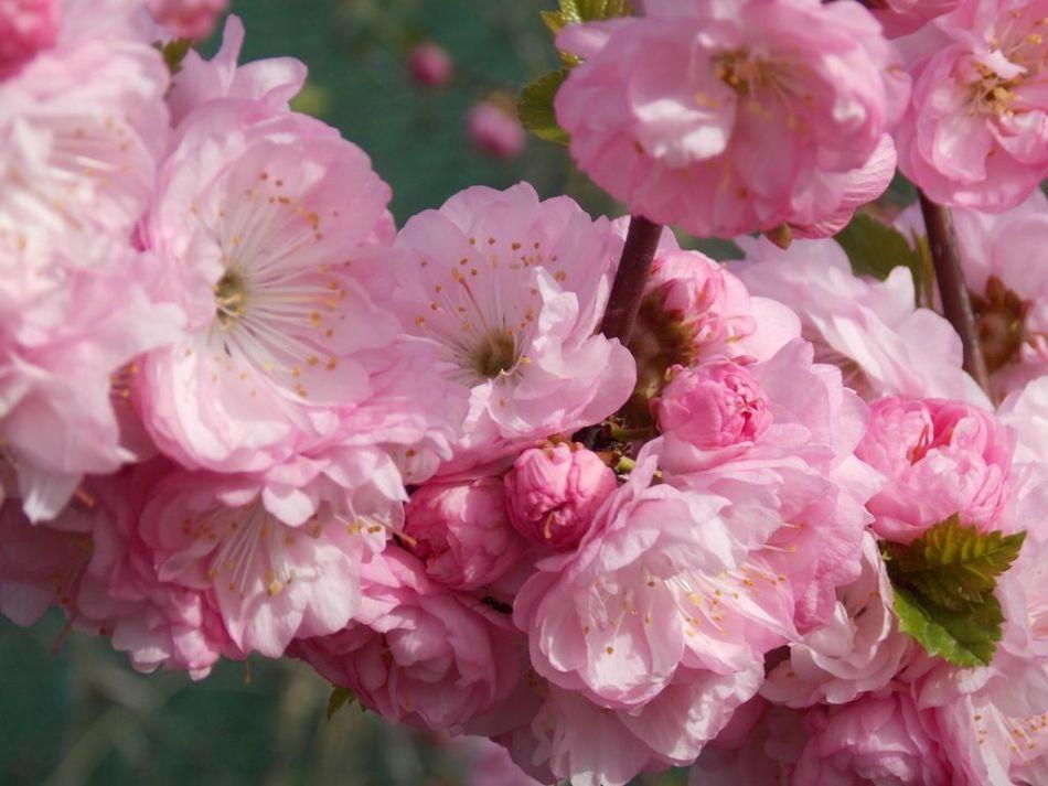 растение довольно куст розовые цветы фото должен был помочь