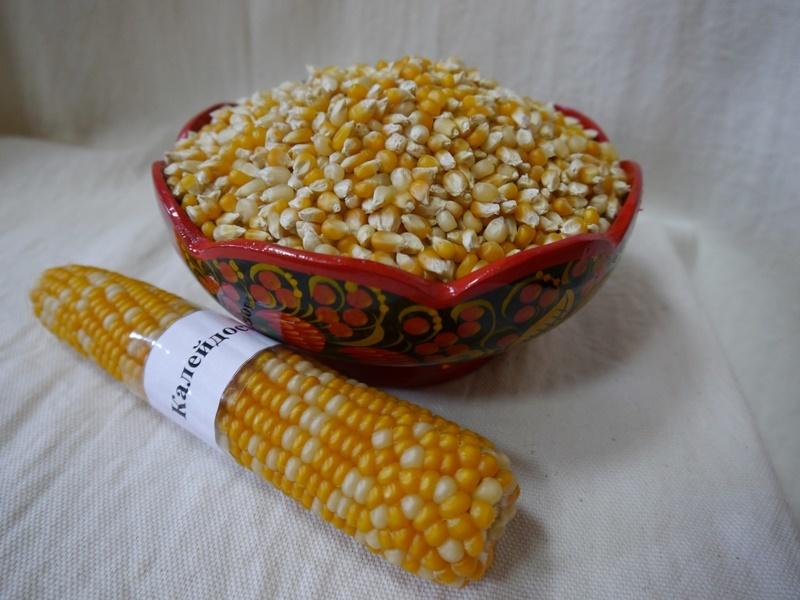 Kukuřice pro popcorn.