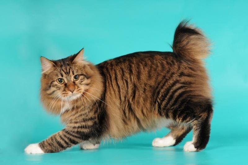 Plešatý dievča mačička