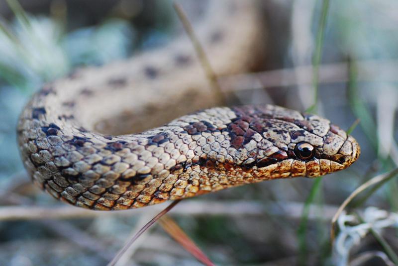 Виды змей украина фото