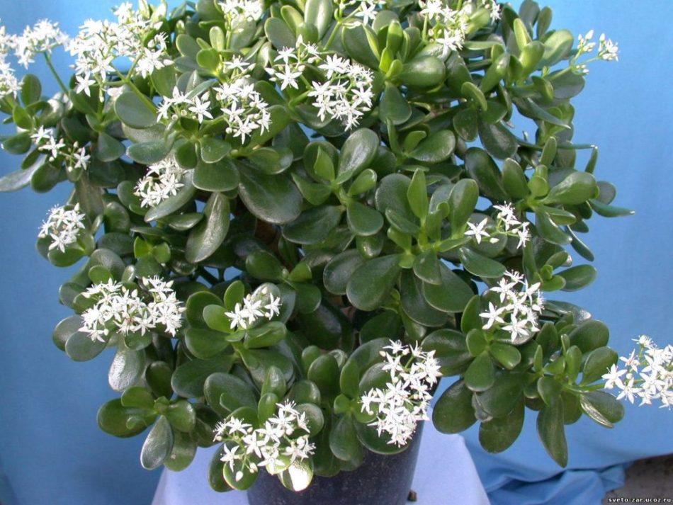 младенческих цветок денежное дерево фото разновидности чем нужно определиться