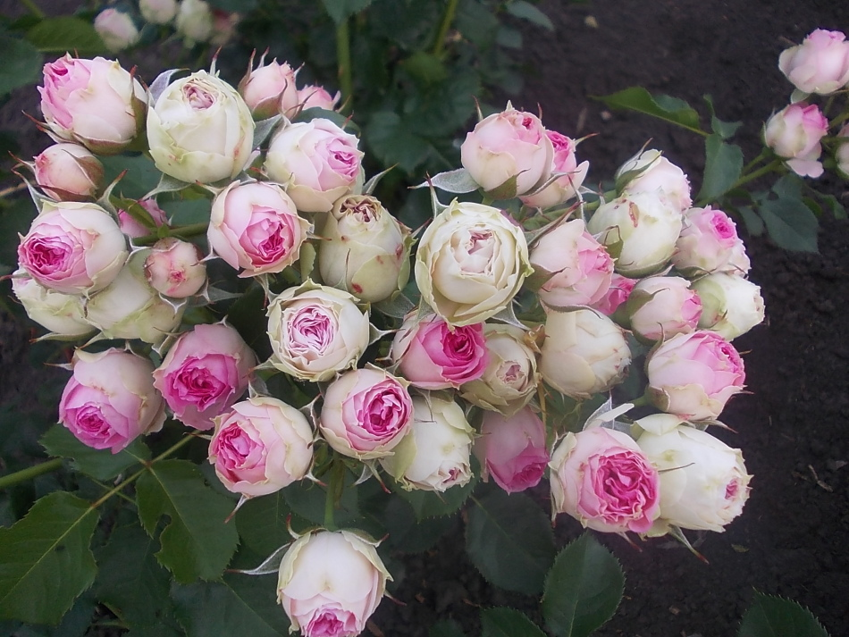 Сколько может простоять роза в воде. Как можно сохранить надолго розы в вазе? При какой температура воды и воздуха розы стоят в вазе дольше