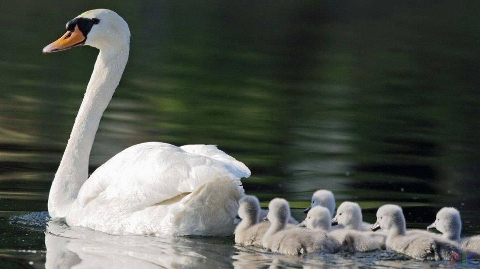 Мама-аққулар және оның балалары