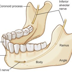 Human Mandible Diagram Interactive Plot Anatomy Of Oromandibular Cancer Headandneckcancerguide Org The Is Lower Jawbone It Made Up Fused Right And Left Halves Its Different Parts Are Shown Here
