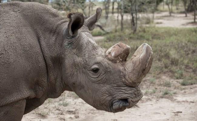 Muere El último Rinoceronte Blanco Del Norte Macho Del
