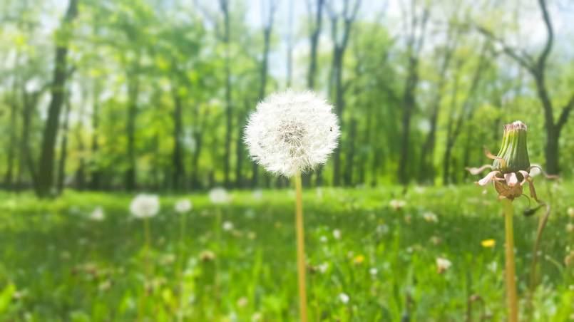 piękne dmuchawce wiosną - do posta: etapy pisania pracy licencjatu