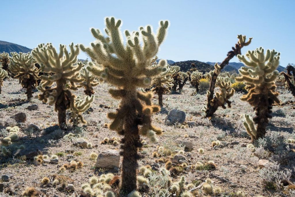 Cholla Garden in Joshua Tree