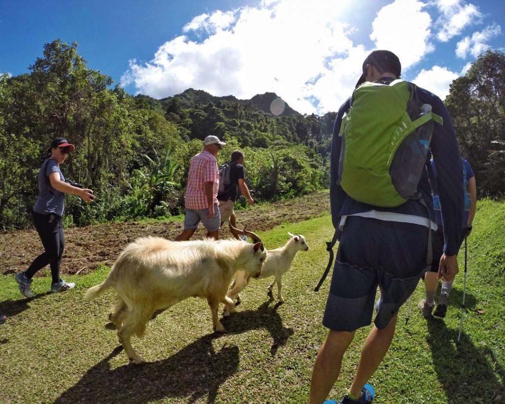 Goats following hiking group on Rarotonga