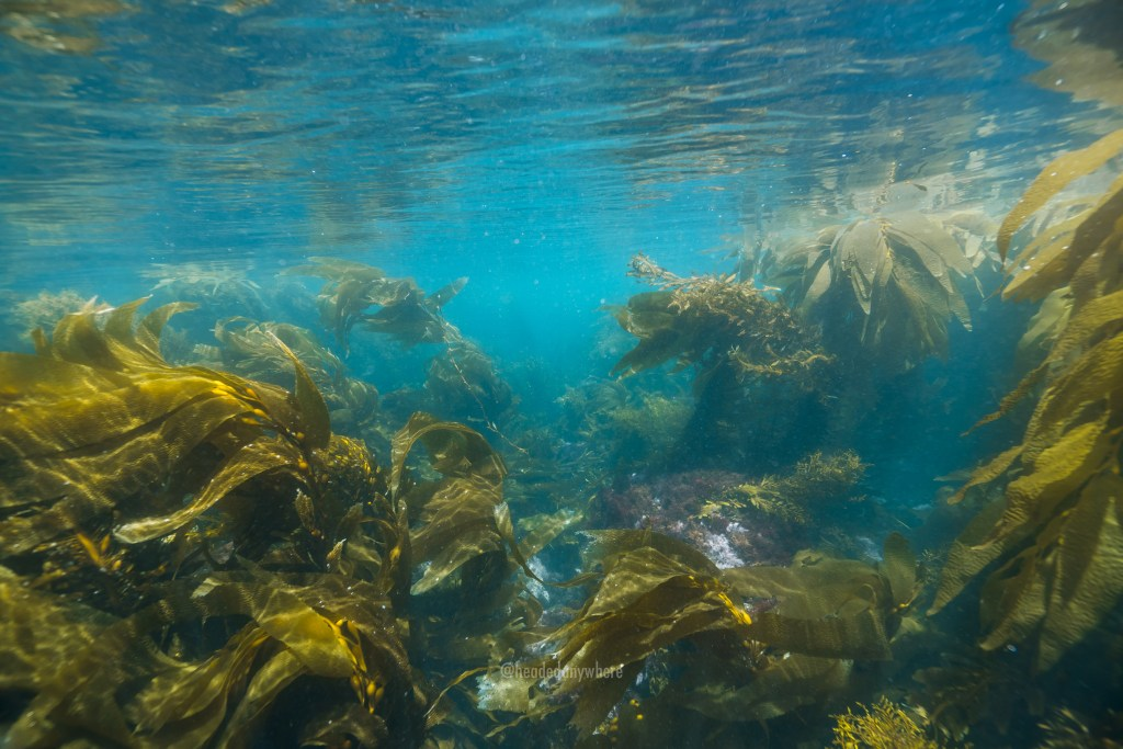 Underwater image with clear blue water and tall kelp in a kelp forest