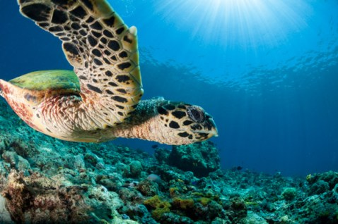 Hawksbill sea turtle (Eretmochelys imbricata) is a critically endangered species belonging to the family Cheloniidae. It is the only extant species in the genus Eretmochelys. The Father's Area of West New Britain, Papua New Guinea.