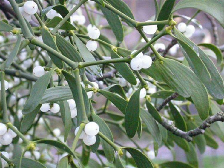 Это растение-паразит лечит бесплодие и помогает в лечении злокачественных новообразований