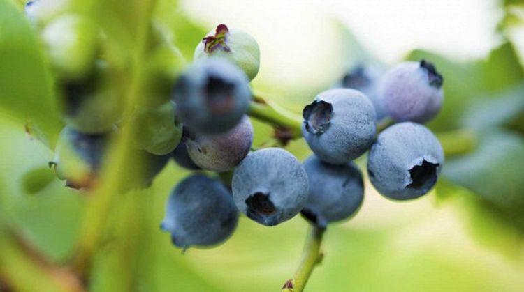 Регулярное потребление этой ягоды стимулирует активность мозга в пожилом возрасте