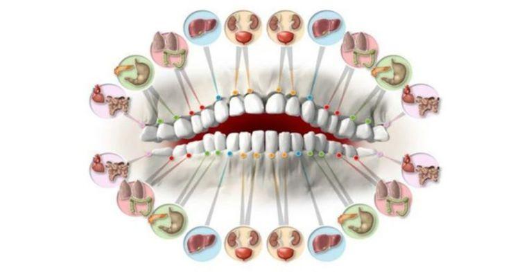 У клыков связь с печенью, а резцы как индикатор почек: определяем