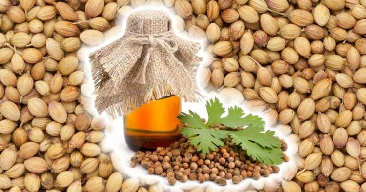Масло из семян кориандра: 9 полезных и лечебных свойств специи на страже вашего здоровья