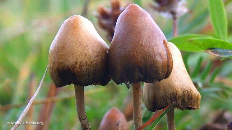"""""""Волшебные грибы"""" оказались мощным лекарством для борьбы с депрессией"""