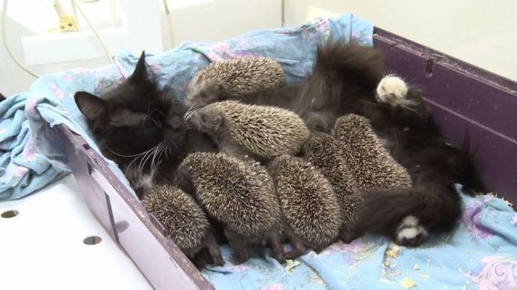 Кошка удочерила ежат-сироток