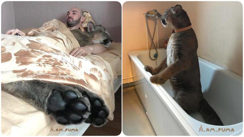 Пума Месси: избалованная  дикая кошка, которой понравилось быть домашней
