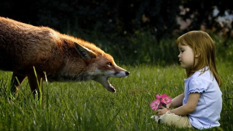 Когда лис ощетинился и повалил ребенка на землю, родители вспомнили пророчество знахарки