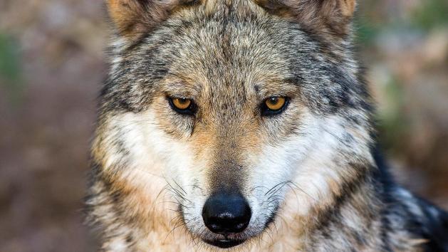 Creation wolf