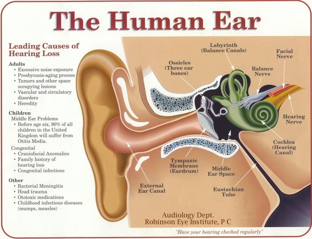 medium resolution of the most important part of any sound system your ears and brain black ear diagram plugged ear diagram