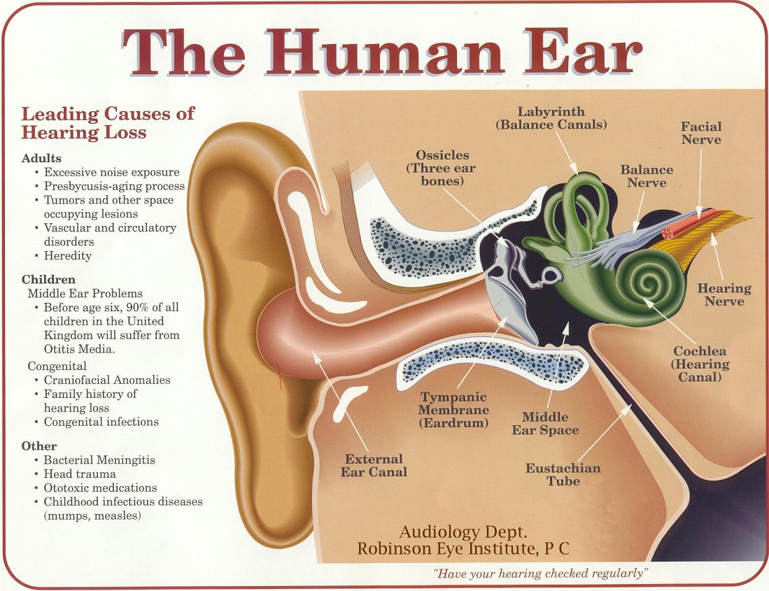 hight resolution of the most important part of any sound system your ears and brain black ear diagram plugged ear diagram