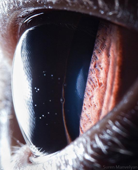british-shorthair-cat-close-up-of-eye-macro-suren-manvelyan