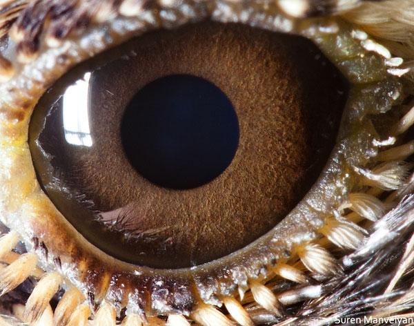 lark-close-up-of-eye-macro-suren-manvelyan
