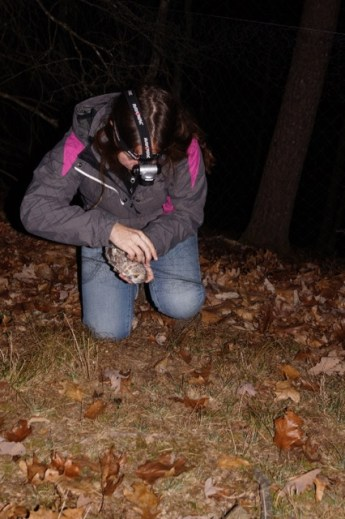 A research assistant removes a captured Northern Saw-whet Owl from a capture net.
