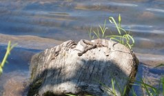This northern watersnake is the only snake we encountered on the walk and it is nonvenomous.