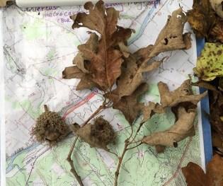 Leaf and acorn specimen of Quercus macrocarpa (bur oak)