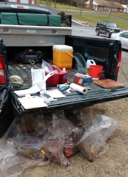 Work station with bagged deer heads collected over the previous week.