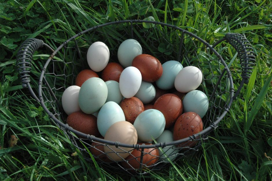 Rainbow Egg Laying Chickens