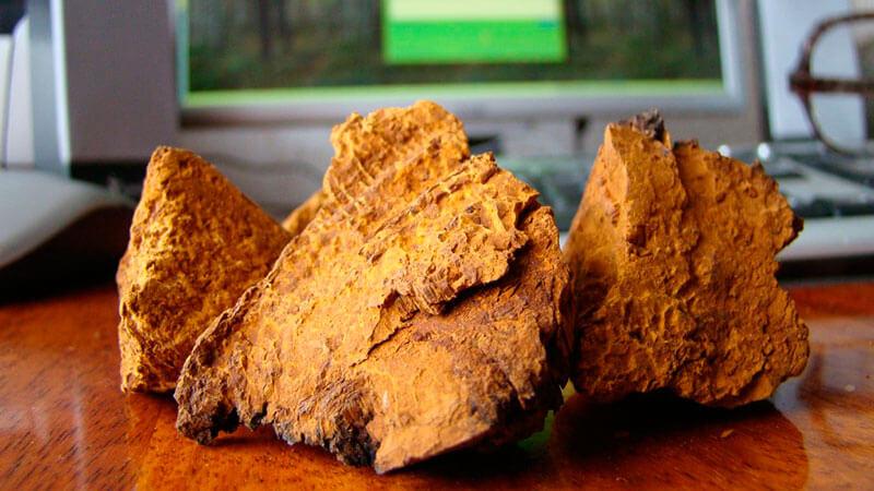 березовый гриб чага полезные свойства