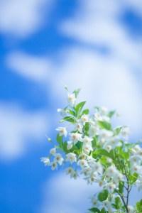アルケミ 空 白花