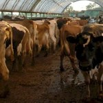 Concentrated Animal Feeding Operations (CAFOs)