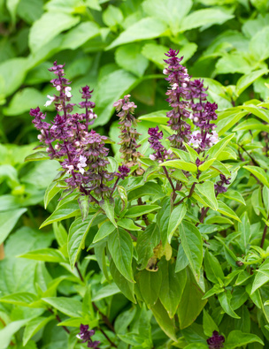 Holy Basil! Anti-inflammatory and anti-histamine superstar