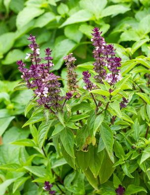Basil flowers in the garden
