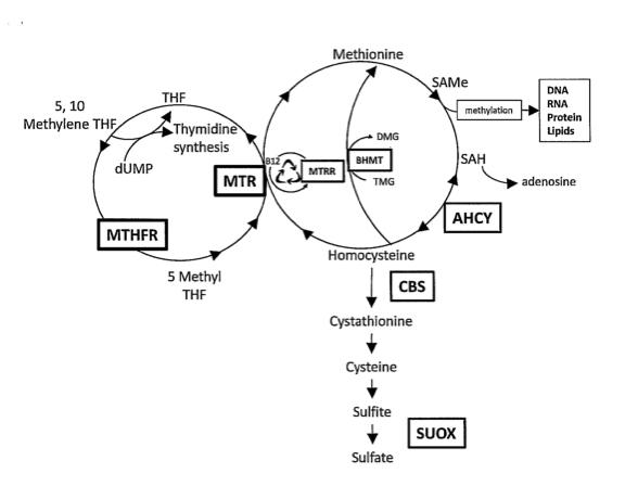 histamine, histamine intolerance, mast cells and methylation