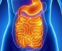 female digestive system