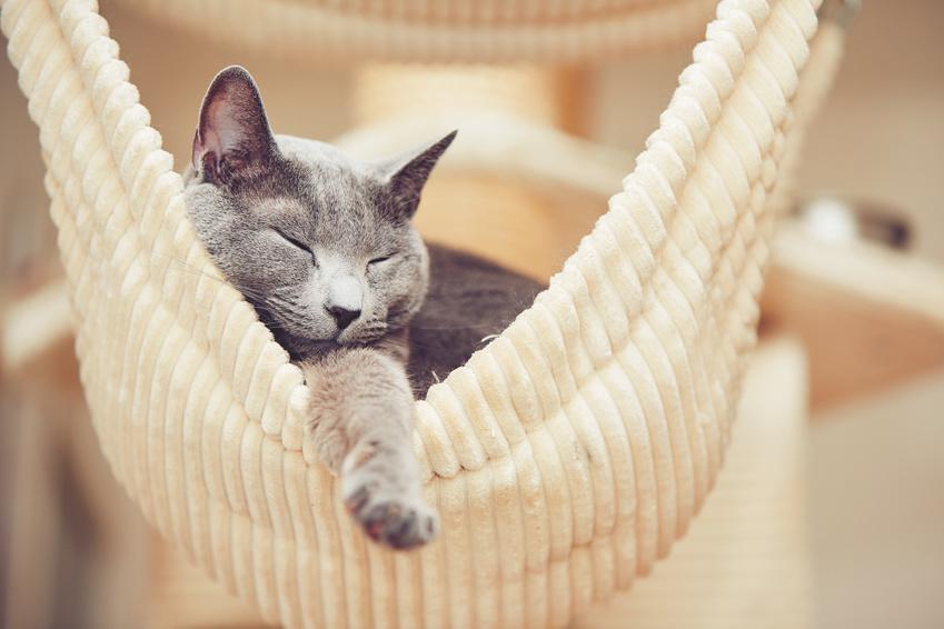 Sleepy russian blue cat in a striped yellow hammock