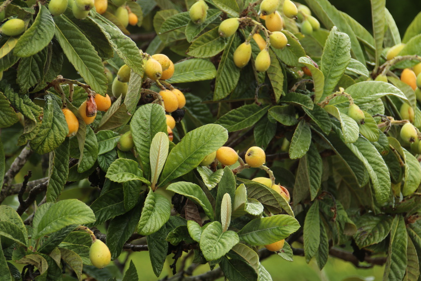 Loquat: A Powerful Antihistamine For Histamine Intolerance