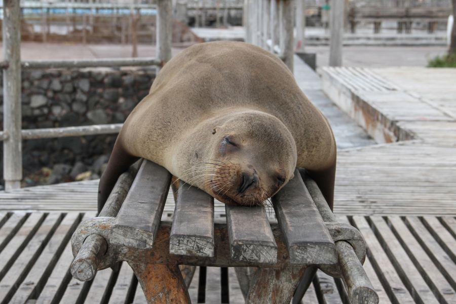 histamine sleep shows a sea lion asleep on a bench