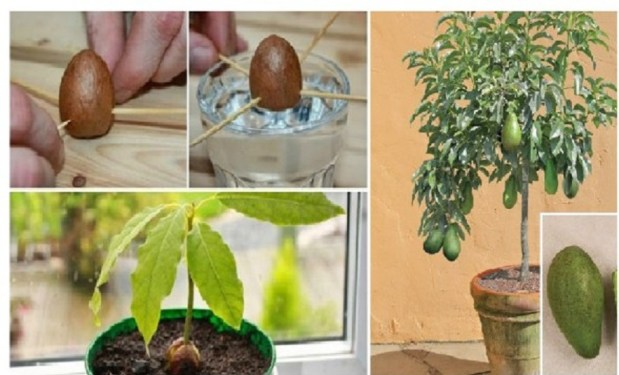 Image result for Stop Buying Avocados. You Can Grow an Avocado Tree in a Small Pot at Home! Here's How
