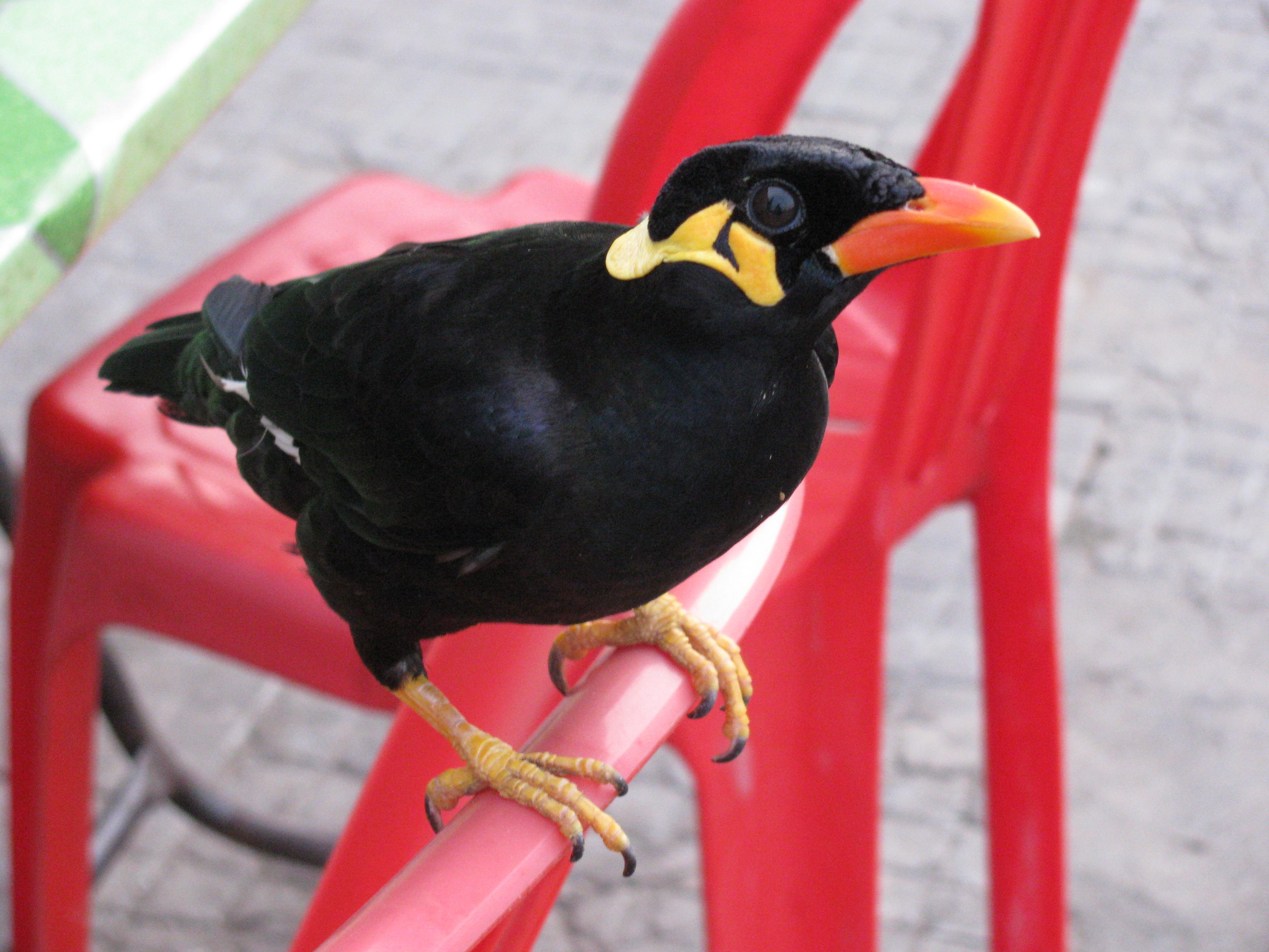 Beo Bird