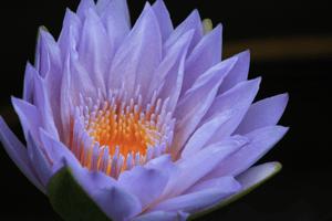 Lotus - A New Beginning