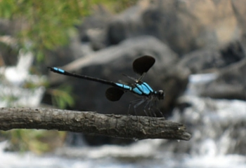 Blue Dragonflys in Ravenshoe