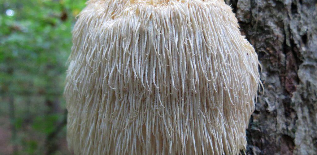 Lion's Mane Mushrooms Health Benefits - Healing Through
