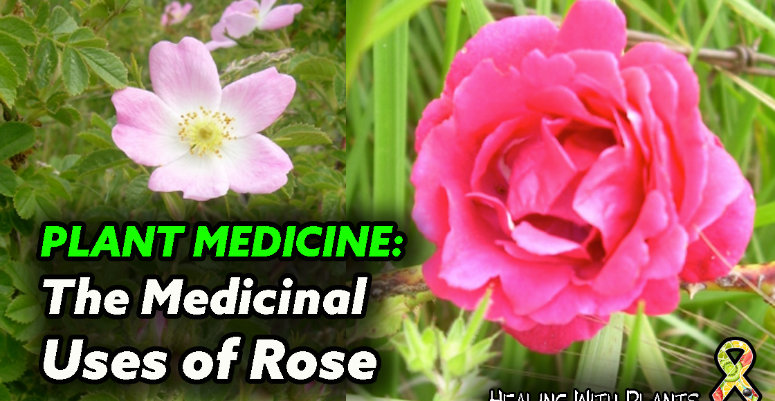 The Medicinal Uses of Rose