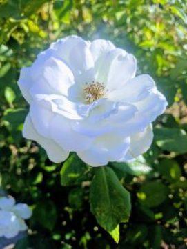 rose medicinal uses