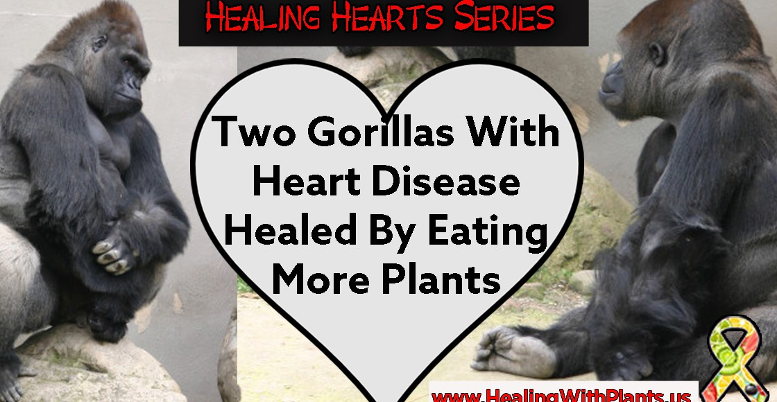 Gorillas With Heart Disease Healed By Eating More Plants